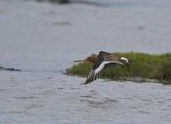 Black-tailed Godwit photographed at Colin Best NR [CNR] on 24/3/2014. Photo: © Royston Carr�