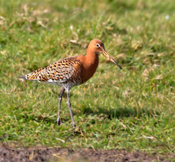 Black-tailed Godwit photographed at Colin Best NR [CNR] on 25/3/2014. Photo: © Mike Cunningham