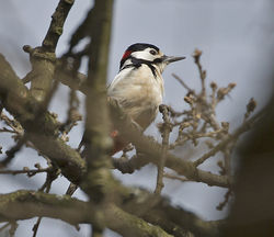 Great Spotted Woodpecker photographed at Saumarez Park [SAU] on 28/3/2014. Photo: © Mike Cunningham