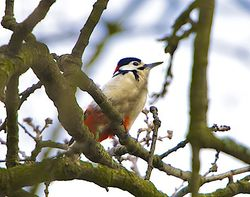Great Spotted Woodpecker photographed at Saumarez Park [SAU] on 28/3/2014. Photo: © Royston Carr�