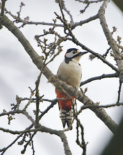 Great Spotted Woodpecker photographed at Saumarez Park [SAU] on 29/3/2014. Photo: © Royston Carr�