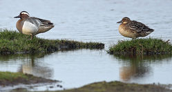 Garganey photographed at Colin Best NR [CNR] on 29/3/2014. Photo: ©  Rockdweller