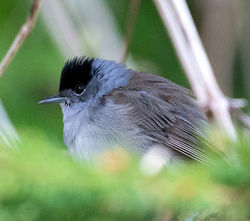 Blackcap photographed at St Peter Port [SPP] on 29/3/2014. Photo: © Mike Cunningham