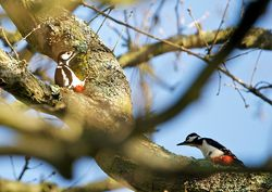 Great Spotted Woodpecker photographed at Saumarez Park [SAU] on 1/4/2014. Photo: © Royston Carr�
