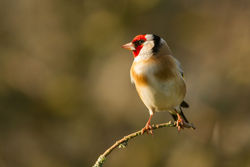 Goldfinch photographed at Bas Capelles [BAS] on 5/4/2014. Photo: © Rod Ferbrache
