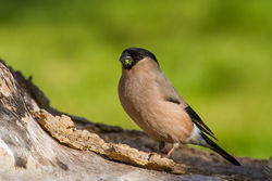 Bullfinch photographed at Bas Capelles [BAS] on 6/4/2014. Photo: © Rod Ferbrache
