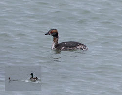 Slavonian Grebe photographed at Shingle Bank on 7/4/2014. Photo: © Mike Cunningham