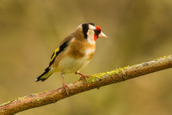 Goldfinch photographed at Bas Capelles [BAS] on 6/4/2014. Photo: © Rod Ferbrache