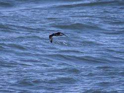 Pomarine Skua photographed at Chouet Hide [CHH] on 9/4/2014. Photo: © David Spicer