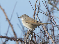 Whitethroat photographed at Pleinmont [PLE] on 13/4/2014. Photo: © Royston Carr�