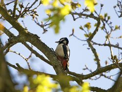 Great Spotted Woodpecker photographed at Saumarez Park [SAU] on 15/4/2014. Photo: © Royston Carr�