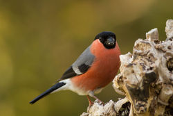 Bullfinch photographed at Bas Capelles [BAS] on 16/4/2014. Photo: © Rod Ferbrache