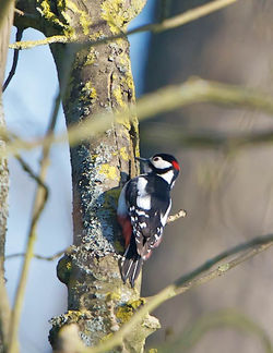 Great Spotted Woodpecker photographed at Saumarez Park [SAU] on 16/4/2014. Photo: © Royston Carr�