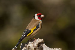 Goldfinch photographed at Bas Capelles [BAS] on 16/4/2014. Photo: © Rod Ferbrache