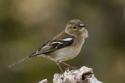 Chaffinch photographed at Bas Capelles [BAS] on 19/4/2014. Photo: © Rod Ferbrache