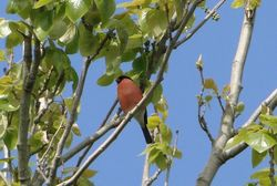 Bullfinch photographed at Heritage Walk [HEW] on 19/4/2014. Photo: © Michelle Hooper