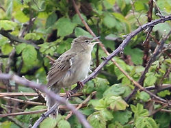 Grasshopper Warbler photographed at Pleinmont [PLE] on 21/4/2014. Photo: ©  Rockdweller