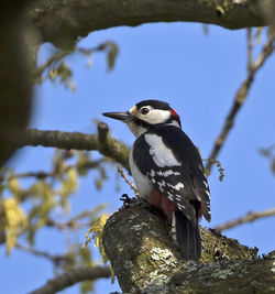 Great Spotted Woodpecker photographed at Saumarez Park [SAU] on 24/4/2014. Photo: © Mike Cunningham