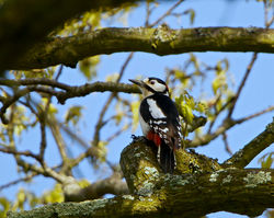 Great Spotted Woodpecker photographed at Saumarez Park [SAU] on 24/4/2014. Photo: © Royston Carr�