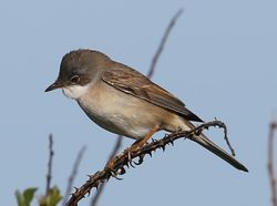 Whitethroat photographed at Pleinmont [PLE] on 26/4/2014. Photo: ©  Rockdweller