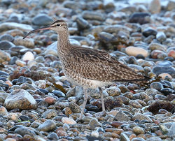 Whimbrel photographed at Shingle Bank [SHI] on 26/4/2014. Photo: ©  Rockdweller