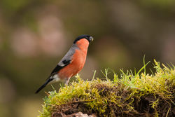 Bullfinch photographed at Bas Capelles [BAS] on 27/4/2014. Photo: © Rod Ferbrache