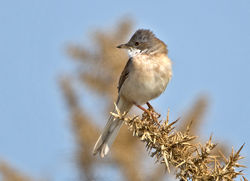 Whitethroat photographed at Pleinmont [PLE] on 28/4/2014. Photo: © Mike Cunningham
