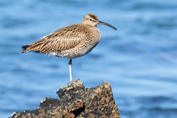 Whimbrel photographed at Perelle [PER] on 25/4/2014. Photo: © steve levrier