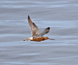 Bar-tailed Godwit photographed at Shingle Bank [SHI] on 6/5/2014. Photo: © Mike Cunningham
