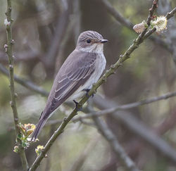 Spotted Flycatcher photographed at Grands Marais/Pr� on 6/5/2014. Photo: © Derek Bridel