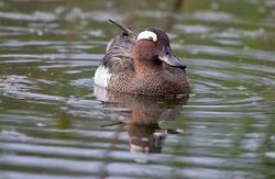 Garganey photographed at Rue des Bergers [BER] on 5/5/2014. Photo: © Dan Scott