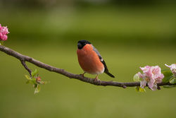 Bullfinch photographed at Bas Capelles [BAS] on 7/5/2014. Photo: © Rod Ferbrache