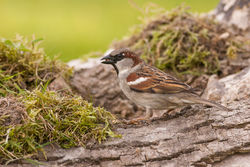 House Sparrow photographed at Bas Capelles [BAS] on 8/5/2014. Photo: © Rod Ferbrache