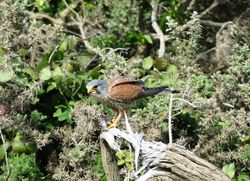 Kestrel photographed at L'acncresse Road on 9/5/2014. Photo: © Sue De Mouilpied
