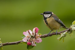 Great Tit photographed at Bas Capelles [BAS] on 9/5/2014. Photo: © Rod Ferbrache