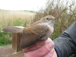 Whitethroat photographed at Select location on 21/4/2014. Photo: © Christopher Mourant