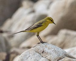 Yellow Wagtail photographed at Jaonneuse [JAO] on 2/5/2014. Photo: © Cindy  Carre