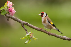 Goldfinch photographed at Bas Capelles [BAS] on 10/5/2014. Photo: © Rod Ferbrache