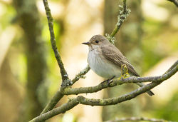 Spotted Flycatcher photographed at Pine Forest, STM [PFS] on 12/5/2014. Photo: © Anthony Loaring