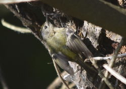 Goldcrest photographed at Marais Nord/Vale Marais [NOR] on 14/5/2014. Photo: © Karen Jehan