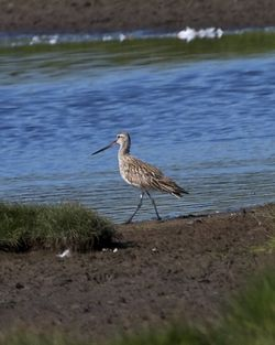 Bar-tailed Godwit photographed at Colin Best NR [CNR] on 16/5/2014. Photo: © Cindy  Carre
