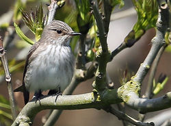Spotted Flycatcher photographed at Pleinmont [PLE] on 17/5/2014. Photo: ©  Rockdweller