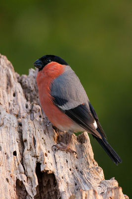 Bullfinch photographed at Bas Capelles [BAS] on 17/5/2014. Photo: © Rod Ferbrache