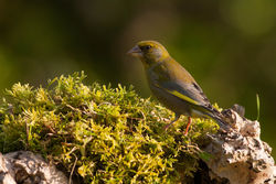 Greenfinch photographed at Bas Capelles [BAS] on 17/5/2014. Photo: © Rod Ferbrache