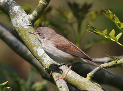Whitethroat photographed at Pleinmont [PLE] on 17/5/2014. Photo: ©  Rockdweller