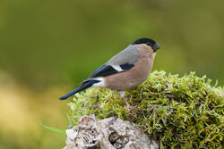 Bullfinch photographed at Bas Capelles [BAS] on 18/5/2014. Photo: © Rod Ferbrache