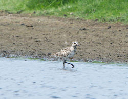 Grey Plover photographed at Colin Best NR on 22/5/2014. Photo: © Royston Carr�