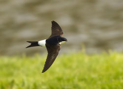 House Martin photographed at Grande Mare [GMA] on 24/5/2014. Photo: © Anthony Loaring