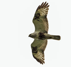 Rough-legged Buzzard photographed at Rue des Hougues, STA [H04] on 26/5/2014. Photo: © Anthony Loaring