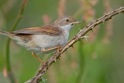 Whitethroat. Photo: © Dan Scott